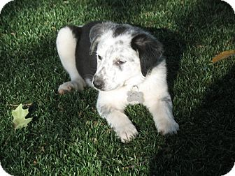 Border Collie/Australian Shepherd Mix Puppy for adoption in Corning, California - GREMLIN
