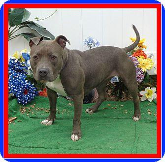 Pit Bull Terrier/Labrador Retriever Mix Dog for adoption in Marietta, Georgia - CORA