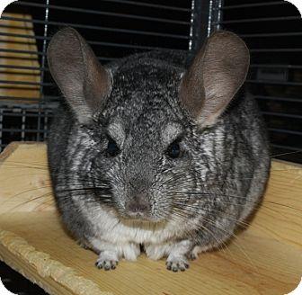Chinchilla for adoption in Hammond, Indiana - Lee