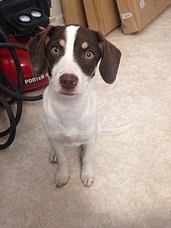 Terrier (Unknown Type, Medium)/Australian Shepherd Mix Dog for adoption in Baton Rouge, Louisiana - Cuba