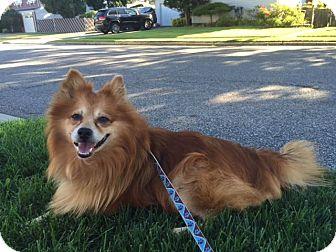 Pomeranian Mix Dog for adoption in New York, New York - Tommy