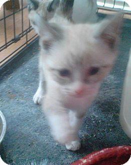 Siamese Kitten for adoption in temecula, California - TINSEL