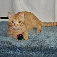 Domestic Shorthair Cat for adoption in Jackson, Mississippi - Hotchkiss