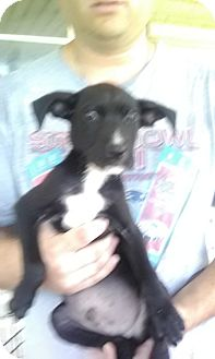 Boxer/Labrador Retriever Mix Puppy for adoption in Wytheville, Virginia - Tater