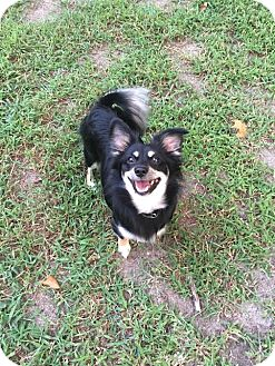 Dachshund/Chihuahua Mix Dog for adoption in west berlin, New Jersey - Sheba