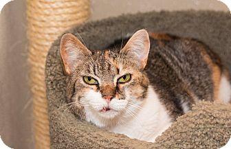 Domestic Shorthair Cat for adoption in Seville, Ohio - Kesha-SPONSORED
