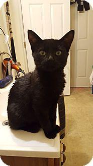 Domestic Shorthair Kitten for adoption in Sterling, Massachusetts - ONYX