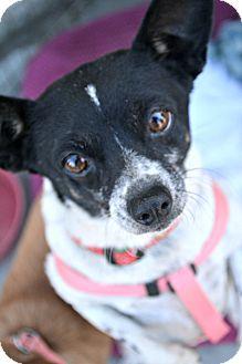 Chihuahua Mix Dog for adoption in Idyllwild, California - Pompeii