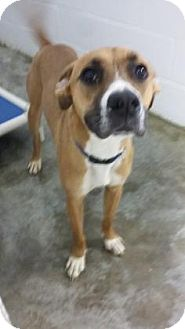 Boxer Mix Dog for adoption in Paducah, Kentucky - Bogart