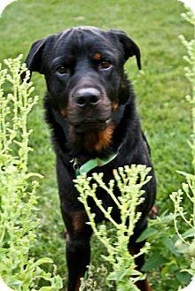 Rottweiler Dog for adoption in Kingston, Ontario - Kane