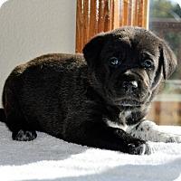 Adopt A Pet :: Guinness - Denver, CO