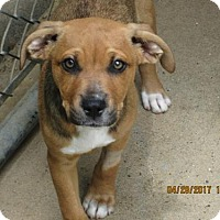 Adopt A Pet :: AMARI - Lincolndale, NY