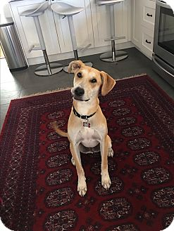 Labrador Retriever Mix Dog for adoption in Victoria, British Columbia - Leo