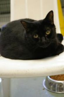 Domestic Shorthair/Domestic Shorthair Mix Cat for adoption in Brooksville, Florida - Ibble