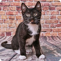 Adopt A Pet :: Figaro - Sterling Heights, MI
