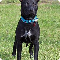 Adopt A Pet :: Scooby - Troy, MI