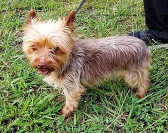 Yorkie, Yorkshire Terrier Dog for adoption in Gaffney, South Carolina - HoneyBunch- chocolate Yorkie