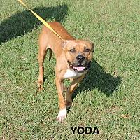 Adopt A Pet :: Yoda - Washington, GA