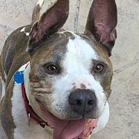 Adopt A Pet :: Chaz - Fredericksburg, VA