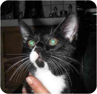 Domestic Shorthair Kitten for adoption in West Warwick, Rhode Island - Spot