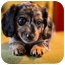 Photo 1 - Dachshund Puppy for adoption in waterbury, Connecticut - Hershey