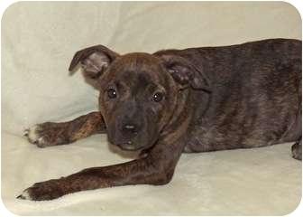 Boxer Mix Puppy for adoption in Phoenix, Arizona - Pollyanna