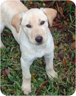 Labrador Retriever Puppy for adoption in Houston, Texas - Tia Marie