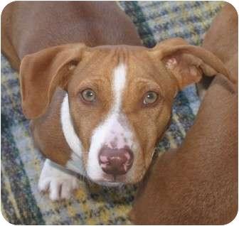 Beagle/Basset Hound Mix Dog for adoption in Santa Ana, California - Oakley