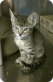 Domestic Shorthair Kitten for adoption in Stillwater, Oklahoma - Scooter