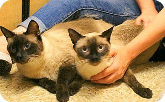 Siamese Cat for adoption in Yuba City, California - Lamb Chop & Pot Roast