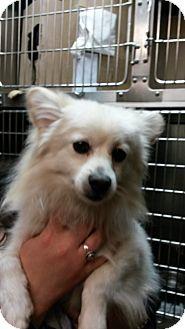 Pomeranian Mix Dog for adoption in Forest Hills, New York - Leo