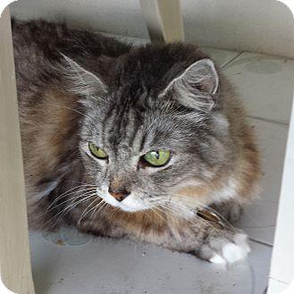 RagaMuffin Cat for adoption in Miami, Florida - Misty