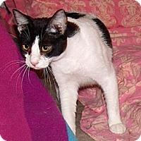 Domestic Shorthair Cat for adoption in Scottsdale, Arizona - Mr. Kotter