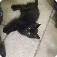Adopt A Pet :: Jasmine (bottle fed) - Sterling Hgts, MI