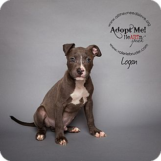 Pit Bull Terrier Mix Puppy for adoption in Medford, New Jersey - Logan