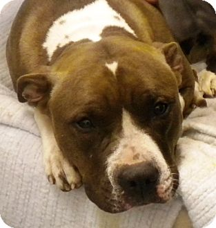 Pit Bull Terrier Mix Dog for adoption in Adrian, Michigan - Jem