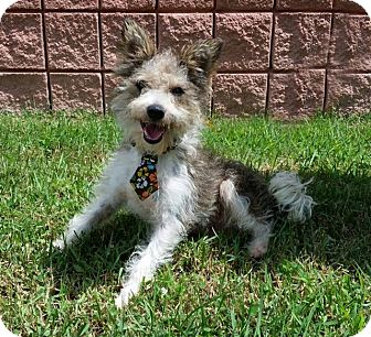 Schnauzer (Miniature)/Poodle (Miniature) Mix Puppy for adoption in Walker, Louisiana - Maxwell