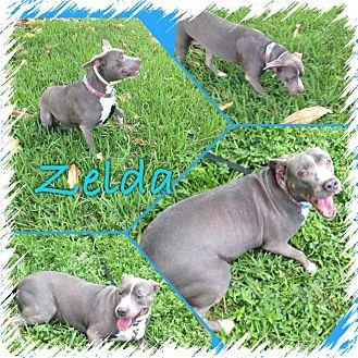Pit Bull Terrier Mix Dog for adoption in Fort Lauderdale, Florida - Zelda