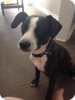 Boston Terrier Mix Dog for adoption in Snyder, Texas - Bentley