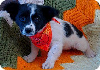 Border Collie Mix Puppy for adoption in Spring City, Pennsylvania - Heidi