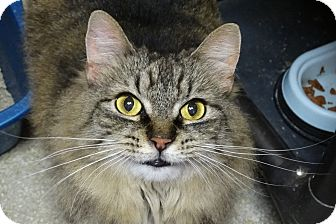 Maine Coon Cat for adoption in Elyria, Ohio - Precious