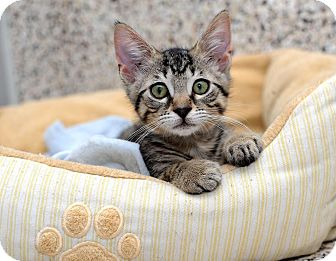 American Shorthair Cat for adoption in Aiken, South Carolina - Moose