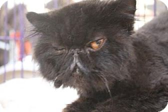 Persian Cat for adoption in Tucson, Arizona - Handsome Howie