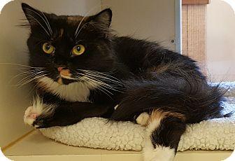 Domestic Mediumhair Cat for adoption in Gloucester, Massachusetts - Penny