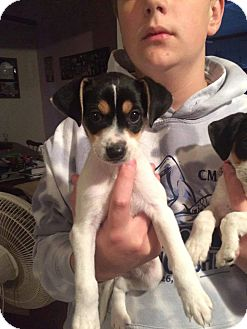 Jack Russell Terrier Mix Puppy for adoption in WESTMINSTER, Maryland - Pearl