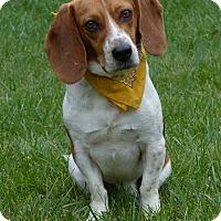 Adopt A Pet :: Olaf - Mocksville, NC