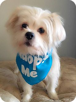 Pekingese Mix Dog for adoption in Los Angeles, California - Rosalind