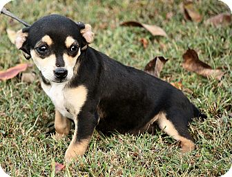 Chihuahua Mix Puppy for adoption in Hagerstown, Maryland - Ozzie