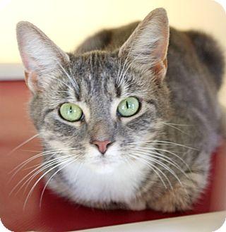 Domestic Shorthair Cat for adoption in Harrisonburg, Virginia - Astrid