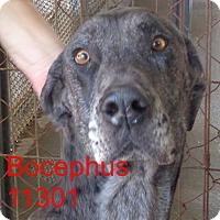 Adopt A Pet :: Bocephus - Greencastle, NC